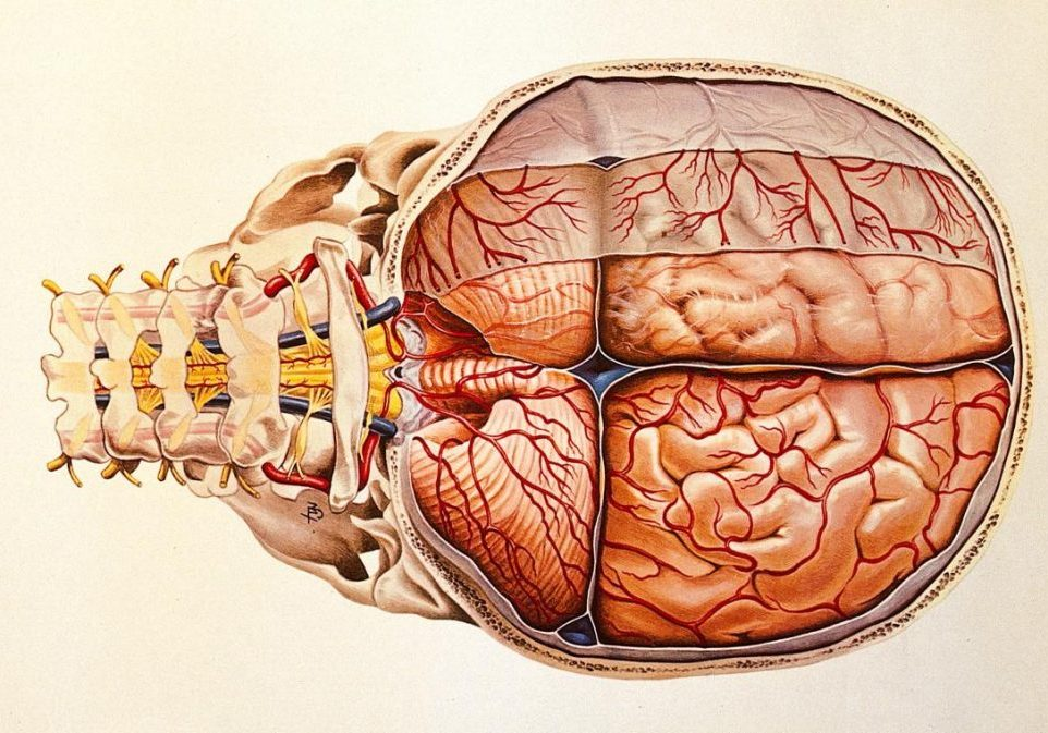 Brain: base and meninges. Colour lithograph by Brocades Great Britain Ltd. (Wellcome Collection)